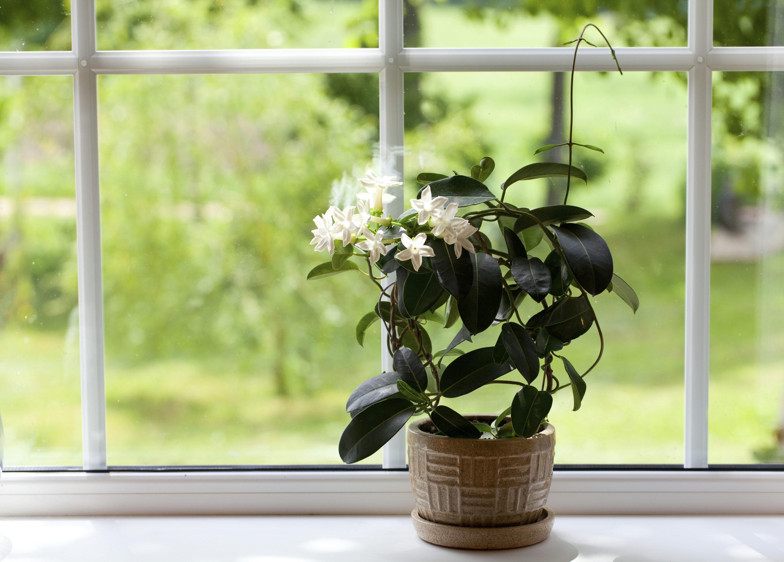 Выращивание жасмина в домашних условиях