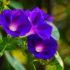Ипомея (фарбитис) – цветок утренней зари