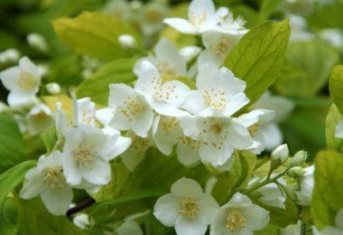 Жасмин садовый чубушник
