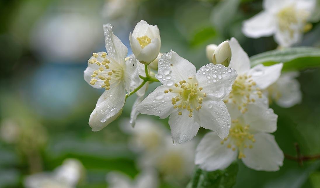 Полив жасмина садового