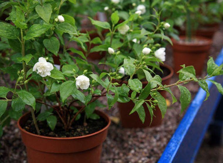 Выращивание чубушника из семян