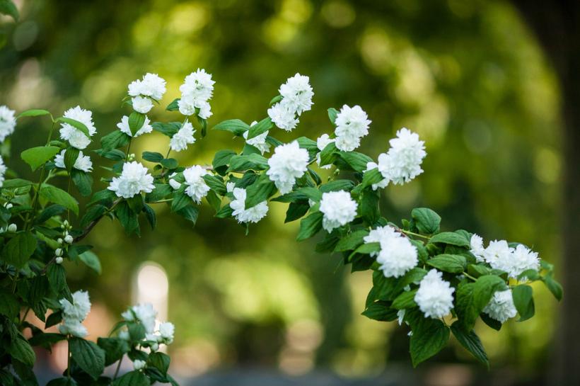 Цветение чубушника в саду