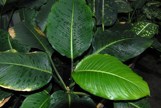 Dieffenbachia Macrophylla