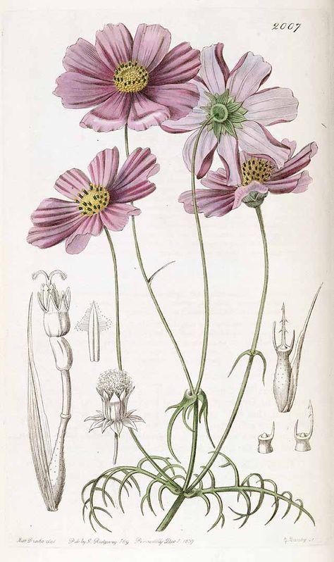 Ботанические характеристики космеи