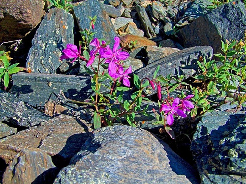 Кипрей альпийский (Epilóbium alpinum)