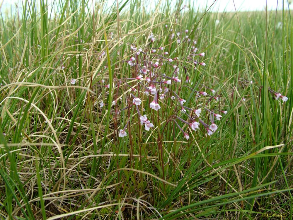 Кипрей болотный (Epilóbium palustre)