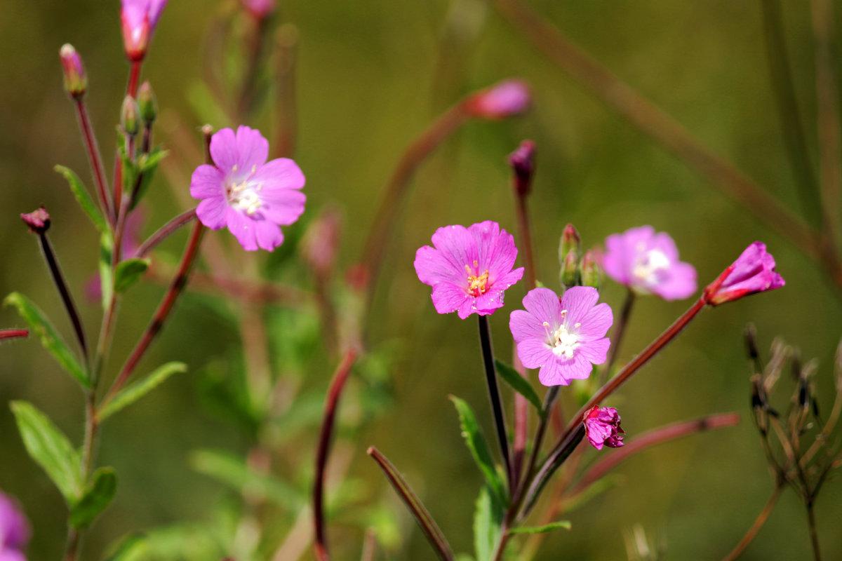 Кипрей мелкоцветковый (Epilóbium parviflorum)