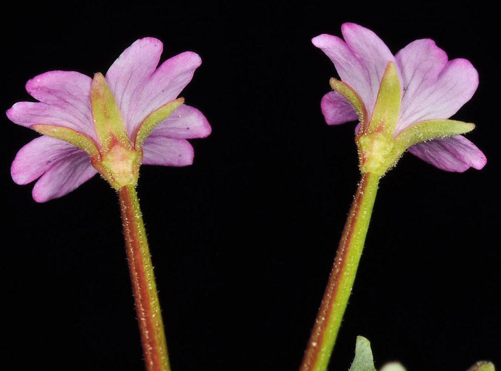Epilóbium glaberrimum