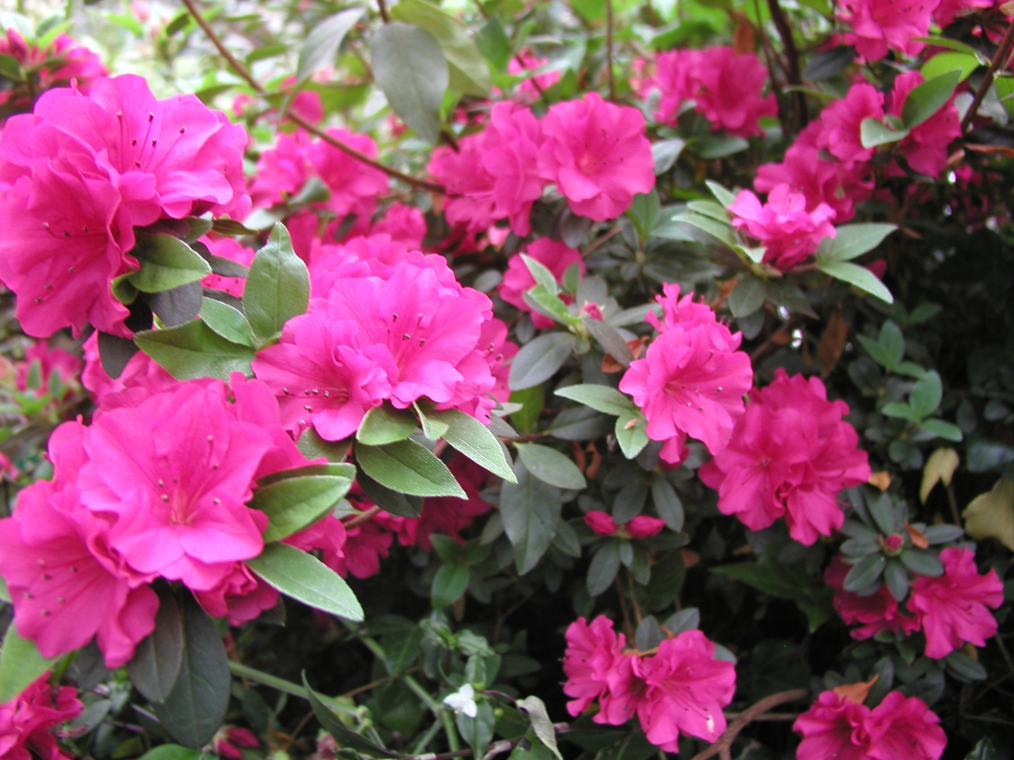 Rhododendron Hexe