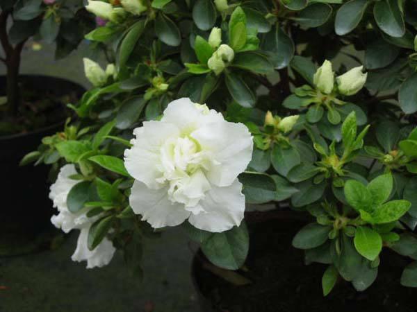 Rhododendron Sakuntala