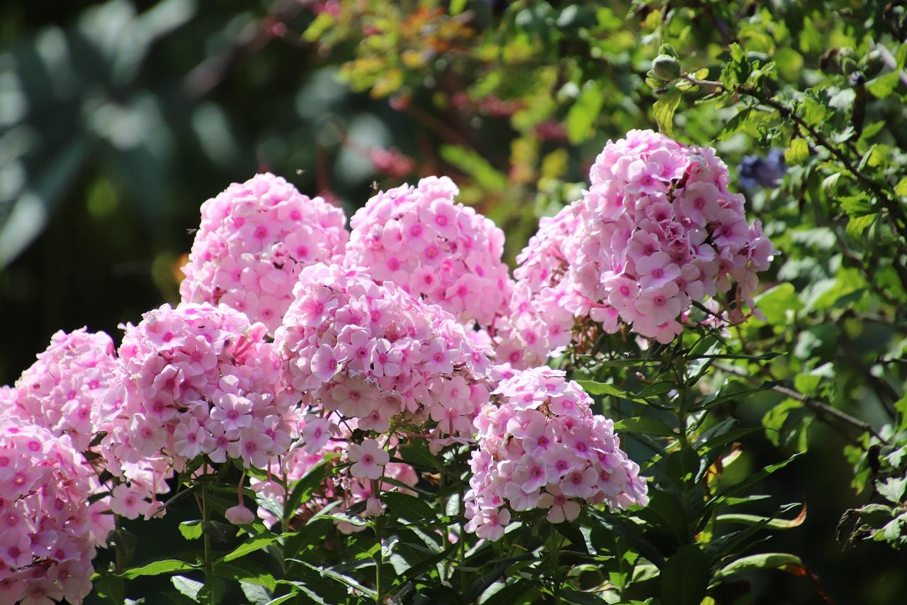 Флокс Цветы Многолетники