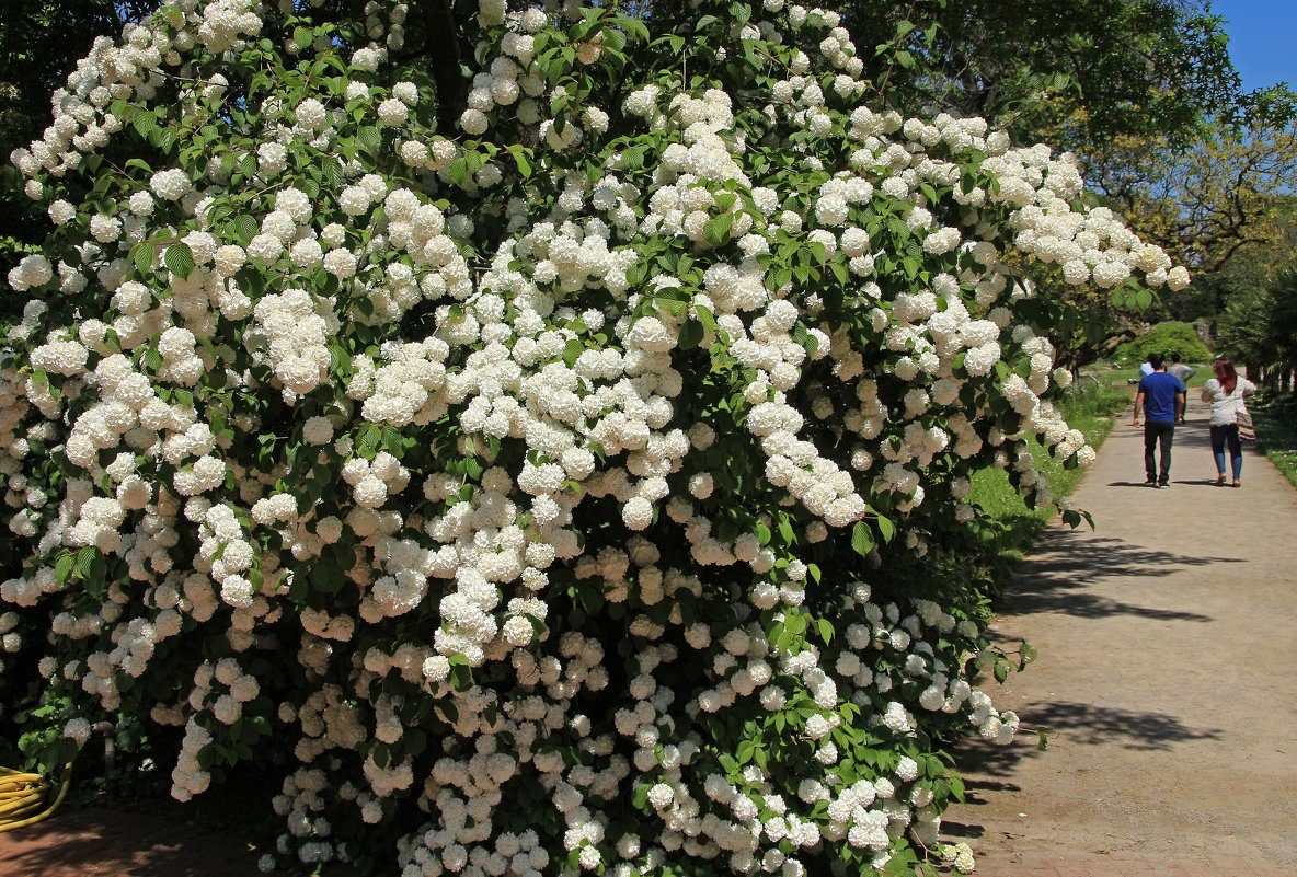 Калина Бульденеж дерево