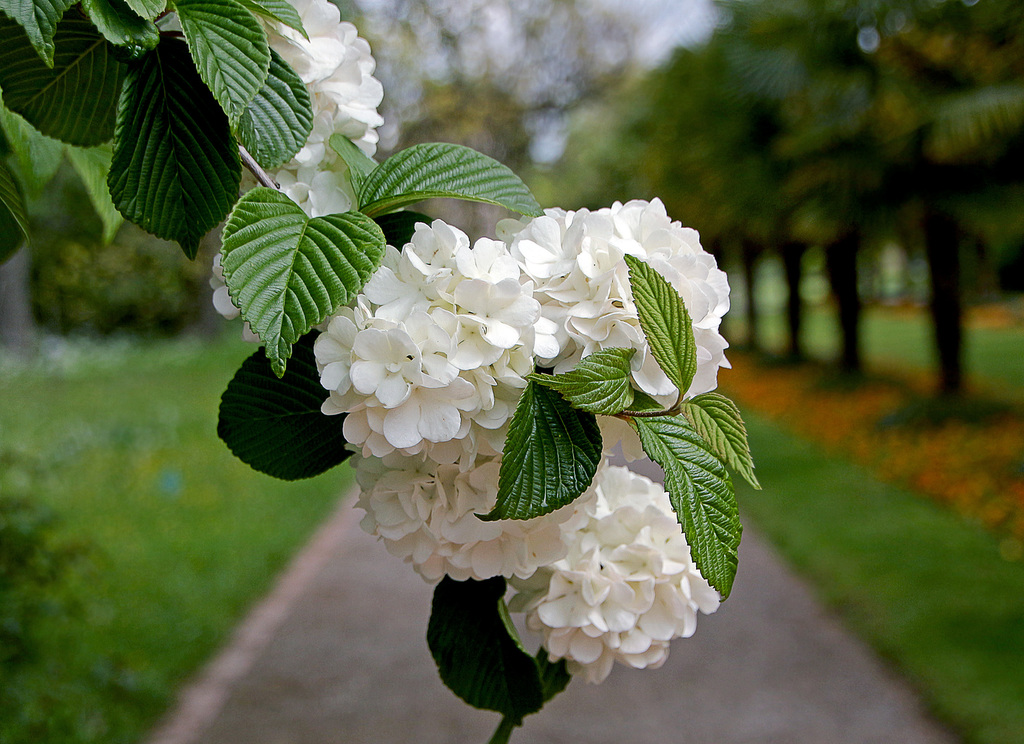 Калина Бульденеж цветение