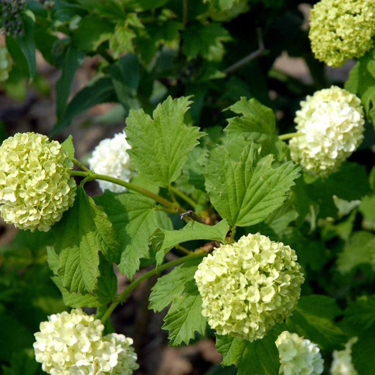 Viburnum-opulus-Roseum 1