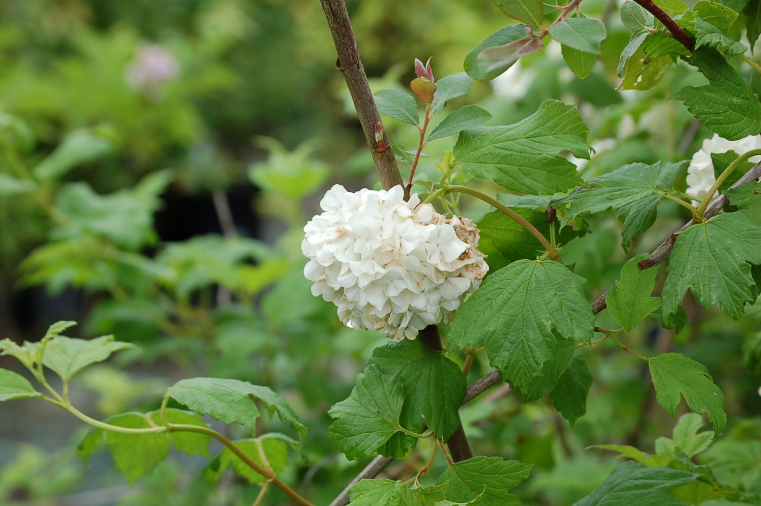 Viburnum-opulus-Roseum