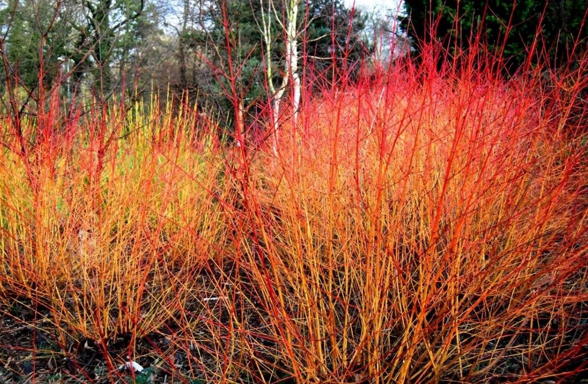 cornus sanguinea Midwinter Fire