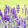 Лаванда - выращивание и уход, применение в народной медицине